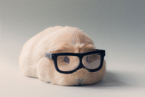 Meet Professor Booboo – The Cutest Guinea Pig In The World! | The Most Interesting Topics | Scoop.it