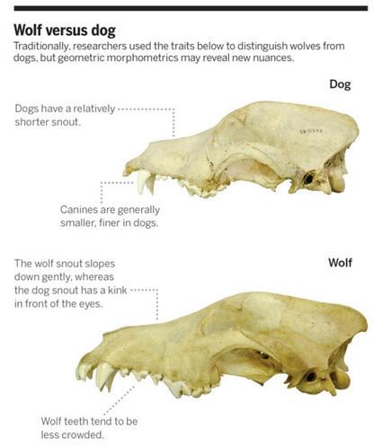 Cómo los lobos se convirtieron en perros | Arqueología, Historia Antigua y Medieval - Archeology, Ancient and Medieval History byTerrae Antiqvae (Blogs) | Scoop.it