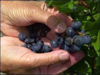 'Clonal Germplasm' = delicious blueberries - KVAL | Herbaria | Scoop.it