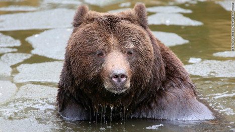 Switzerland's only wild bear is killed as a danger to humans | curating your interests | Scoop.it