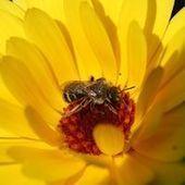 Pesticides : les mathématiques au secours des abeilles   AgroSup Dijon Veille Scientifique AgroAlimentaire - Agronomie   Scoop.it