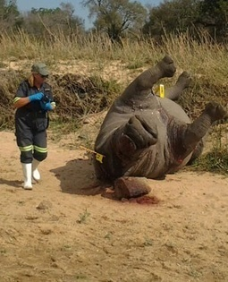 Rhino poaching at crisis level - News24 | Save our Rhino and all animals...this is what it looks like!!!!! | Scoop.it