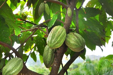 The Rise of Delicious Haitian Chocolate | Ms. Postlethwaite's Human Geography Page | Scoop.it