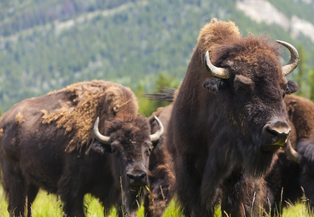 Yellowstone National Park Bison Might Be Slaughtered | Nature Animals humankind | Scoop.it