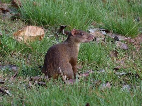 Photo de Dasyproctidé : Agouti ponctué - Agouti à points - Dasyprocta punctata - Central American agouti - Agouti du Panama | Fauna Free Pics - Public Domain - Photos gratuites d'animaux | Scoop.it