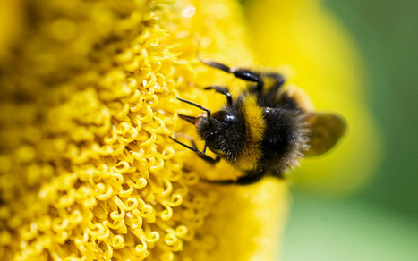 BBSRC funded: Bees contribute more to British economy than Royal Family | BIOSCIENCE NEWS | Scoop.it