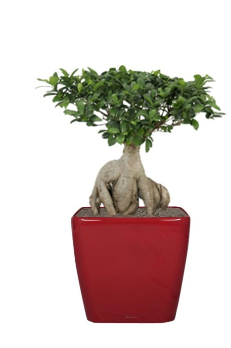 Ficus Ginseng -allure de bonsaï | La Location de plantes | Scoop.it