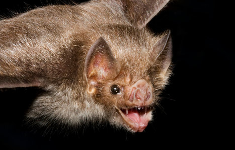 Why Female Vampire Bats Donate Blood to Friends - National Geographic | Bat Biology and Ecology | Scoop.it
