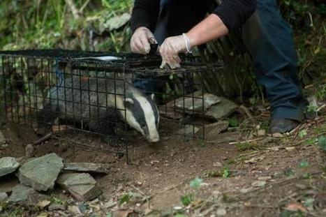 Badger vaccination programme underway at Cornish resort | Bovine TB, badgers and cattle | Scoop.it