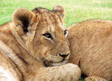 El increíble viaje de Mona y Max, 2 crías de león exiliadas en Gaza | Enriquecimiento ambiental en animales en cautividad y mascotas. | Scoop.it