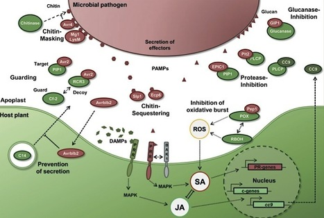 New Phytologist: Apoplastic immunity and its suppression by filamentous plant pathogens (2013) | My MPMI | Scoop.it