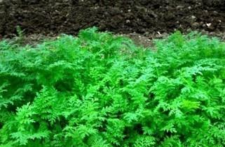 Les vertues des engrais verts ! | jardin | Scoop.it