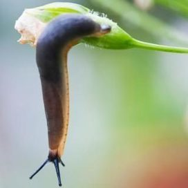 Organic gardening: What to do when slugs attack   Horticulture, parks and gardens   Scoop.it