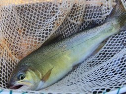 New Mexico Gila Trout Restoration – Freshwater Fishing News | Freshwater Fishing | Scoop.it