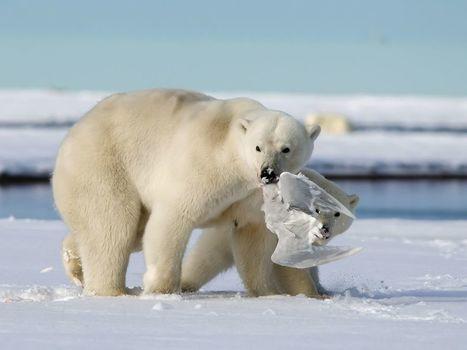 #ours blanc, #Alaska -- National Geographic Photo of the Day | Hurtigruten Arctique Antarctique | Scoop.it
