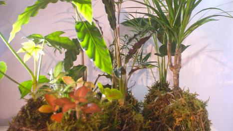 Air Gardens Kokedama - Google+   AirGardens   Scoop.it