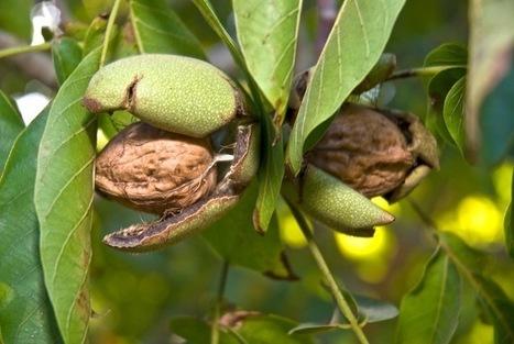 Le régime méditerranéen associé à des noix ou à de l'huile d'olive, réduit de 30% les accidents cardiovasculaires   Habitudes Alimentaires et Santé   Scoop.it