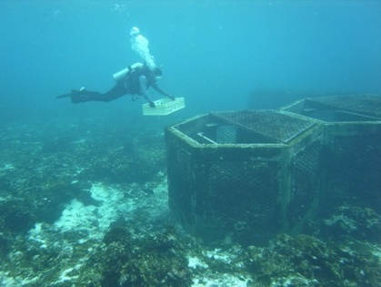 First Spawning of Coral Transplanted on Okinotori Islands, Japan | Coral Conservation | Scoop.it