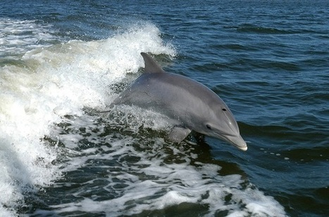 Is the dolphin die-off in the Gulf finally ending? - CSMonitor.com | KNOWING............. | Scoop.it