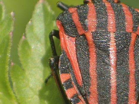La punaise arlequin, avec ou sans ailes ?   EntomoScience   Scoop.it