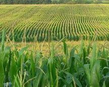 Les OGM connaissent leur premier recul mondial | Sécurité sanitaire des aliments | Scoop.it