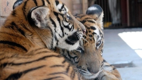 Animal rights group asks tourists to avoid tiger tourism | Nature Animals humankind | Scoop.it