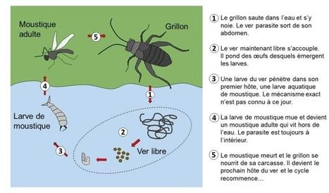 Êtes-vous contrôlé par un parasite ? | EntomoScience | Scoop.it