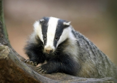 Vets want inhumane badger cull method dropped | wildlife | Scoop.it
