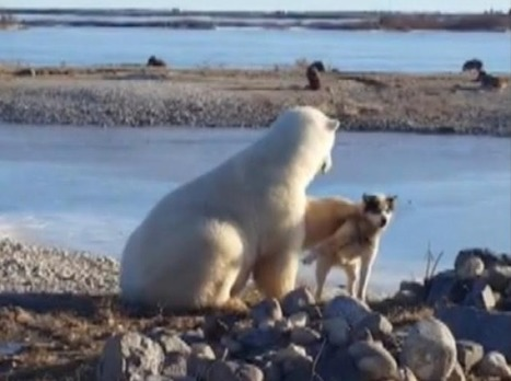 Sled dog killed by polar bear days before viral video surfaced of bear petting dog | MOVIES VIDEOS & PICS | Scoop.it
