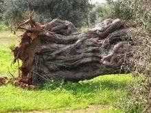 monteverdelegge: Come distruggere l'economia locale. D'Annunzio, l'olio d'oliva e i fessi italiani   Attualità e varie   Scoop.it