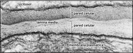 Estructura de la pared celular de vegetales | La guía de Biología | Educacion, ecologia y TIC | Scoop.it