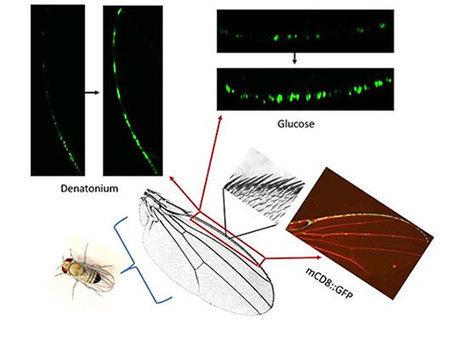 Pour choisir leur niche écologique, les drosophiles goûtent avec leurs ailes   Biodiversité   Scoop.it