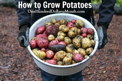 How to Grow Seed Potatoes {Start to Finish} | Sustain Our Earth | Scoop.it