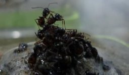 Ants build raft to escape flood, protect queen | This Gives Me Hope | Scoop.it