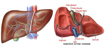 Karaciğer Nakli - Organ Nakli - Medical Park | www.organ-nakli.com | Scoop.it