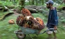 Palm oil companies exploit Indonesia's people and its corrupt politics   GarryRogers Biosphere News   Scoop.it