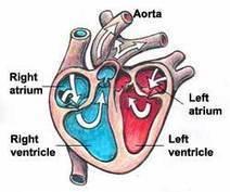 Kids' Health - Topics - Your heart | Human Body | Scoop.it