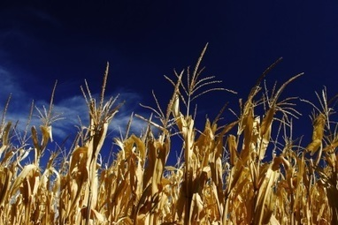 Australia: Wheat royalties aiding research | Food Security | Scoop.it
