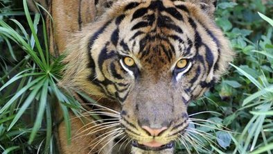 Tigers under threat from dog disease | Twisted Microbiology | Scoop.it