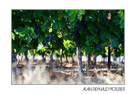 En attendant les vendanges...   Flickr - Photo Sharing!   Images et infos du monde viticole   Scoop.it