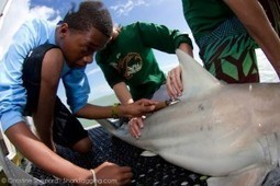 Support marine conservation research and join a shark tagging expedition | #SciFund | Scoop.it