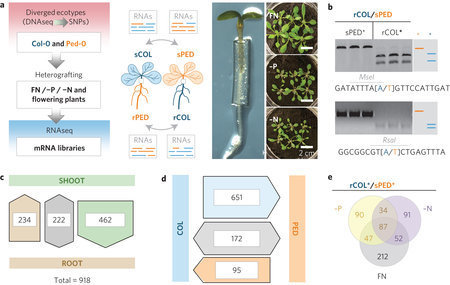 Endogenous Arabidopsis messenger RNAs transported to distant tissues | plant molecular biology | Scoop.it