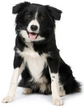 The Top 10 Smartest Dog Breeds In The World | Breeds and Such | Scoop.it