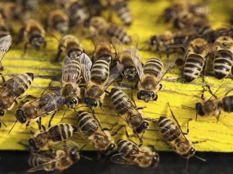 A Diversity of Bees Is Good for Farming—And Farmers' Wallets | Erba Volant - Applied Plant Science | Scoop.it