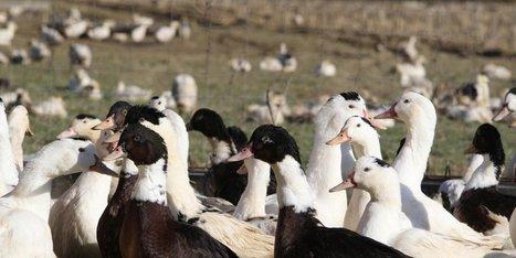 Grippe aviaire : un arrêté prépare le repeuplement des élevages de canards et d'oies | Agriculture en Dordogne | Scoop.it