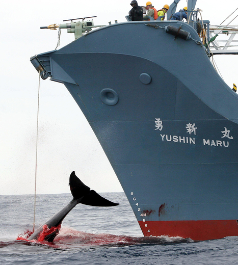 WORLDWIDE: Australia won't monitor Japanese whaling | The Australian government should oppose Japanese whaling in Antarctica. | Scoop.it