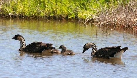 Endangered nene geese return to Oahu, hatch 3 chicks | http:www.scoop.it-t-Oahu | Scoop.it