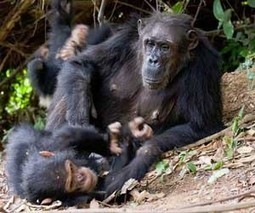 Origins of human teamwork found in chimpanzees | PsyPost | Brain Science | Scoop.it