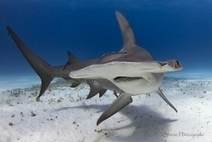 Great #Hammerheads: Superb #Photo Gallery ~ | Rescue our Ocean's & it's species from Man's Pollution! | Scoop.it