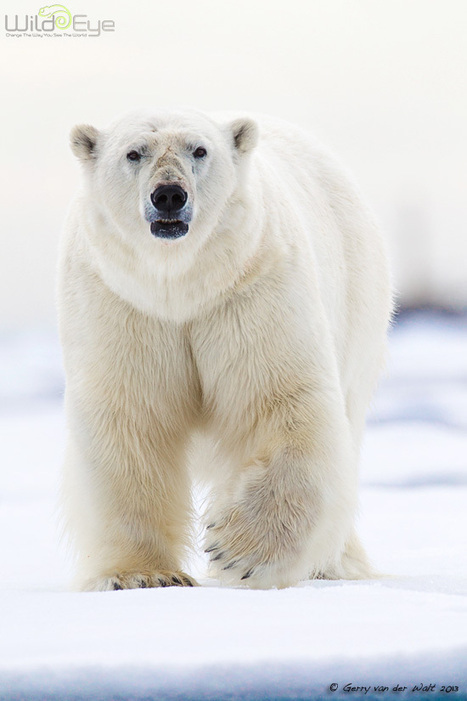 #PolarBear - #WildEyePhotography ~   Rescue our Ocean's & it's species from Man's Pollution!   Scoop.it